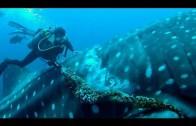 Walvishaai gered door een duiker