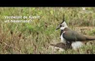Verdwijnt de kievit uit Nederland?