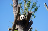 panda-642767_1920