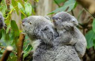 female-koala-and-her-baby-1332217_1920