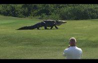 Reuzenkrokodil loopt over golfbaan in Florida