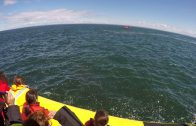 Walvis springt vlak naast zeilers