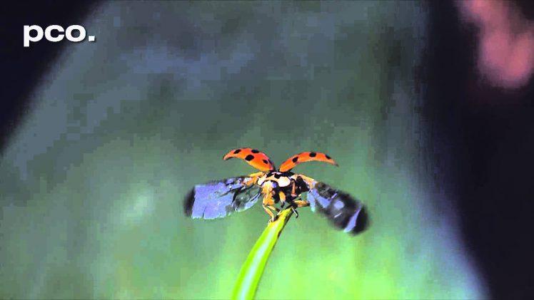 Lieveheersbeestje in slow motion