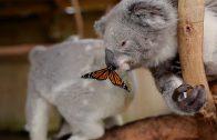 Vlinder speelt met koalabeer