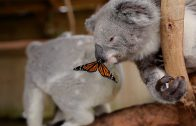 Schattig: koala speelt met vlinder