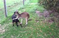 Kangoeroe en hond zijn beste vrienden