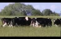 Koeien genieten in de wei