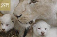 Vier zeldzame witte tijgers geboren in Polen